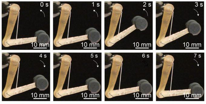 MIT fibre muscolari sintetiche